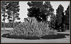2017 Sydney: B&W Centennial Park #5 (dominotic) Tags: sydney nsw australia newsouthwales 2017 centennialpark publicpark tree gardenbed blackandwhite nature bw