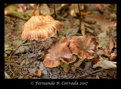 DSC_7289-copy_sm (fbc57) Tags: nikond800 sigma150f28exapomacro bristol bristolwetland vermont mushrooms fungi
