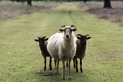 Hi there (esmeecadoni) Tags: woods europe netherlands beautifulearth trees sony outdoor sunlight summer simple simplicity minimal light minimalistic littlethings holland morning bokeh photography forest green sheep animals nature animal