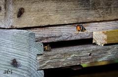Tueur d'abeilles (J-C Isabelle) Tags: frelonasiatique vespavelutina mandibule nikon d5100 sigma 105 macro hyménoptère insecte espèceinvasive vol chasse killer ruche abeille hornet bee