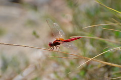 Red chopper (dfromonteil) Tags: libellule dragonfly bug insecte insect animal red rouge ailes light lumière wings herbe grass vert marron green brown colors couleurs nature