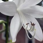 Hosta blossom, close-up (01) thumbnail