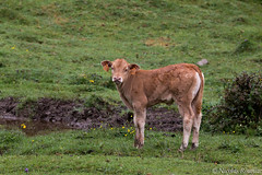 Veau - Calf (Nicolas Rouffiac) Tags: animal animals animaux nature veau calf cow vache