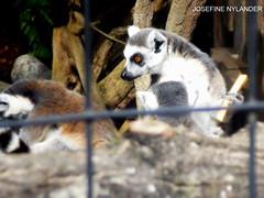 Huh? (josefinenylander) Tags: animals zoo skansen stockholm lodjur lokatt lynx lemur utter otter get goat ekorre squirrel nature outside sweden sverige summer water food eating sleepy cat big