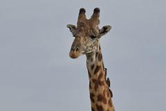 20170615_2250_Masai Mara_Girafe Masai (fstoger) Tags: kenya masaimara viesauvage wildlife safari girafe girafemasai masaigiraffe afrique africa