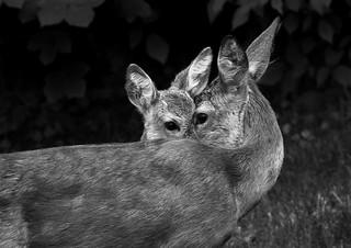 Roe deer love