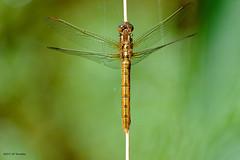 Libellule (jpto_55) Tags: libellule insecte macro bokeh xe1 fuji fujifilm hautegaronne fujixf55200mmf3548rlmois france