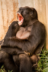 I'm So Tired 3-0 F LR 8-13-17 J080 (sunspotimages) Tags: gorillas gorilla nature wildlife zoos zoosofnorthamerica zoo nationalzoo fonz2017 fonz