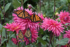 20170831-132658 RRRamales-2-Edit (Selamar) Tags: butterfly dahlia monarch tuttifrutti