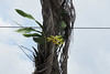 Catasetum viridiflavum in situ @ Panama City (Mabelín Santos) Tags: catasetum orchidaceae catasetinadeae orquidáceas orquideas orkidea orquídeasdepanamá orquídeaspanameñas orkidé orkide orchidee orchideen naturaleza epífitas epiphyte insitu catasetumviridiflavum epífita naturepanama