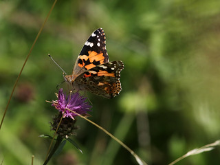 PAINTED LADY 4 110817