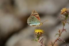Borboleta (Carlos Santos - Alapraia) Tags: ngc ourplanet animalplanet canon nature natureza wonderfulworld highqualityanimals unlimitedphotos fantasticnature birdwatcher borboleta butterfly insecto