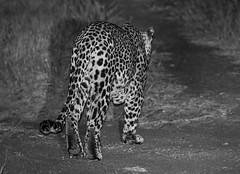 Safari-158 (Davey6585) Tags: travel traveling world southafrica africa safari tydonafricansafaris tydonsafaris tydon sabisands sabisandsprivategamereserve sabisandsgamereserve pantherapardus leopard africanleopard cat bigcat bigfive big5 animal animals wildlife wildanimals