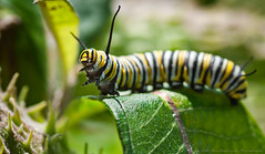 Monarch Caterpillar (Runninghounds Photography) Tags: butterfly caterpillar monarchcaterpillar monarchbutterfly milkweed flowers closeup nikond300 nikkormicro105f28 excited pennsylvania southcentralpa insects bugs