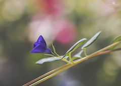 parallel bar routine (rockinmonique) Tags: flower bloom blossom petal purple pink green bokeh macro greenland moniquew canon canont6s tamron copyright2017moniquew