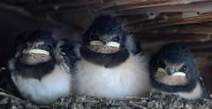 Little Eating Machines (Nephentes Phinena ☮) Tags: nikond500 sigma50500mmf463 rauchschwalbe rauchschwalbenküken barnswallow barn swallow chicks