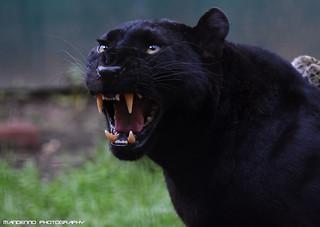 Black leopard - Olmense Zoo