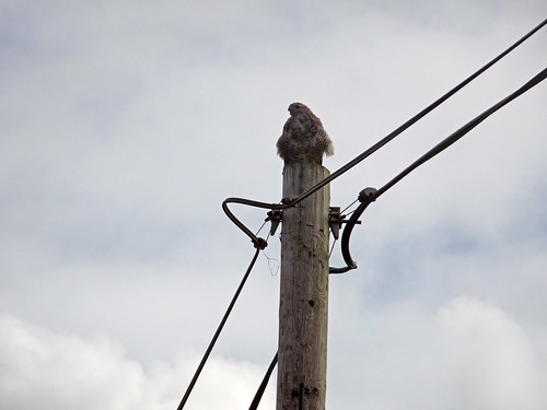 Buzzard on a pole, 2017 Aug 24