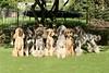 2S2A2237 (itzapromisepoodles) Tags: itzapromise itzapromisepoodles apricotpoodle apricotstandardpoodle apricotpoodles standardpoodle silverpoodle spoo silverstandardpoodle stdpoodle silverpoodles poodles phantompoodle phantomstandardpoodle poodle redstandardpoodle redpoodle
