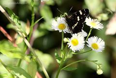 dark butterfly (photos4dreams) Tags: gersprenz05082017p4d gersprenz münster hessen germany naturschutz nabu naturschutzgebiet photos4dreams p4d photos4dreamz nature river bach flus naherholung butterfly schmetterling