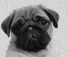 Jerry (François Tomasi) Tags: mops pug carlin françoistomasi jerry yahoo google flickr blackandwhite noiretblanc chien dog animal photo photography photographie photoshop pointdevue pointofview pov lights light lumière blanc noir white black digital numérique filtre reflex nikon indreetloire touraine france europe août 2017