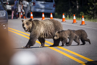 Grizzly bear with 2 cups