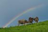 Rainbow Kuh1 (1 von 1) (Bilder meines Lebens) Tags: kühe cow rainbow regenbogen wiese glücklich frei no meat cant eat