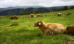 Sheep in skyrim (Maluka.X) Tags: nature animal landscape scenery sheep grass mountain amazing harmony green summer vacation travel trip cloud xinjiang china flower forest