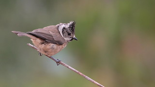 Chapim de poupa - Lophophanes cristatus (Parus cristatus) - Crested tit