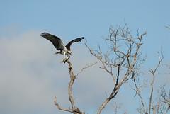 Fish Eagle (rdodson76) Tags: fisheagle osprey eagle birdofprey hunter fishing fisher avian nature day florida captured caught talons animal wildlife habitat coastal
