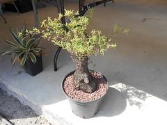 CB Succulentes - Mestoklema tuberosum (Pankreator) Tags: mestoklema tuberosum