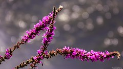 Jeu de lumière (YᗩSᗰIᘉᗴ HᗴᘉS +7 000 000 thx❀) Tags: bokeh bokehlicious beyondbokeh macro color purple flower hensyasmine sonyrx10m3 sony