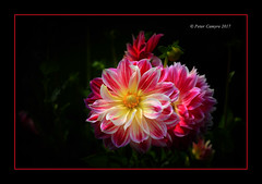 Just My Imagination (Peter Camyre) Tags: peter camyre flower photo photography image canon close up flowers color colorful flickr pictures ef70200mmf28lisiiusm canoneos5dmarkiii