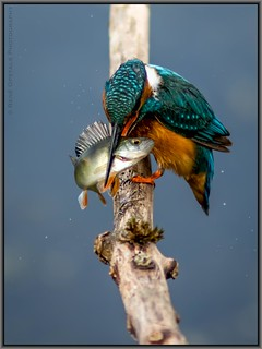 Kingfisher; the perfection and brute force