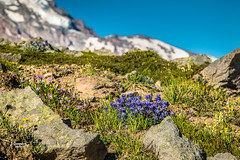 Wildflowers Galore (JGemplerPhotography) Tags: flowers wildflowers rainier mtrainer landscape