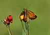 Zabulon Skipper, Butterfly Weed, Backyard, 08-06-2017_IMG_1536a (Nancy L Erickson) Tags: zabulonskipper skipper skippers butterfly butterflies pinehill nj butterflyweed wildflower