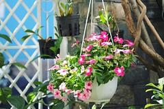 (bambooland) Tags: mygarden myyard flowers plants