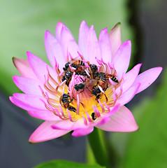 Overcrowded (Robyn Hooz) Tags: api bees loto lilly lotus water bangkok watphreakaew petals petali crowd folla follia fool