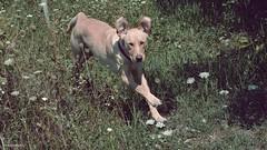 Come here! - Gyere ide! (Zsofia Nagy) Tags: diagonal ourdailychallenge weeklythemechallenge pet dog zsemle kutya kert garden ears fun funny run 52in2017challenge flickrlounge saturdaytheme