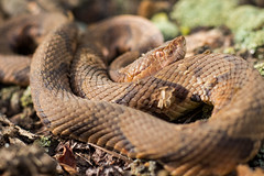 Southern Copperhead (SnapperGreg) Tags: canon80d canon canonphotography composition copperhead snakes georgia georgiawildlife