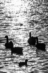 17/8 Sunshine on the lake (garyjones1959) Tags: 3652017 365 365the2017edition leicasl leica tllens tl monochrome blackandwhite bw black white himley hall dudley geese goose coot moorhen sunshine reflection