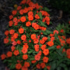 Flowers at night (Peeb-OK) Tags: flowers landscape nature night amazing beautiful incredible instagram instagramapp square red