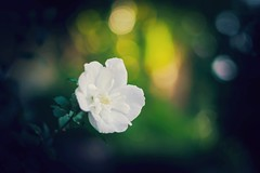 beauty in white (_andrea-) Tags: hibiscus white sonyalpha7mii sonyzeiss morgensonne light licht bokeh bokehshots bokehjunkie bokehs beauty flowers nature 50mm 14f ticino