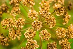 (ChicqueeCat) Tags: nature flower nikon d3300 40mm macro outdoor