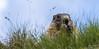 Die Murmeltiere (Marmota) Wildlife-Großglockner ©Arne Flemke (Arne Flemke-Gezeiten Photography) Tags: österreich grosglockner murmeltier
