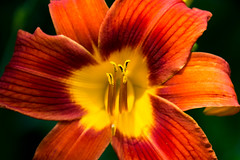 Fire flower (kzoop) Tags: flower flowers floral macro lily tigerlily