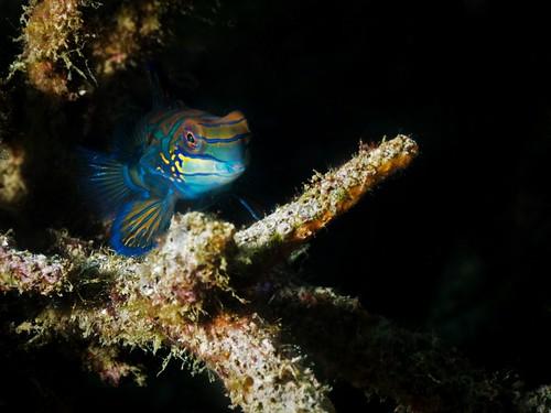 CelebesDivers - underwater 83 (Synchiropus splendidus)