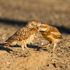Burrowing Owls (Mick Thompson1) Tags: owl