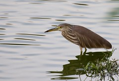 Indian pond heron, Ardeola grayii (Suri JV (on and off)) Tags: ngc nehruzoo hyderabad canon80d canon30014xveriii ardeolagreyii pondheron coth5
