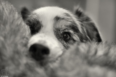 32/52 Maybe if I just get Roger a little closer to you (Jasper's Human) Tags: 52weeksfordogs 52wfd aussie australianshepherd dog toy